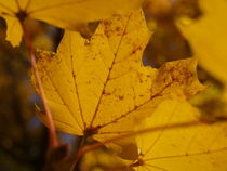 yellow leaves  by Martin Binder