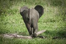 'Elephant Dumbo' by martin buschmann