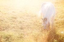 Weißes Pferd  von Bastian  Kienitz