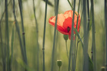resting on the poppy