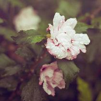 Where the wild roses grow by Lina Gavenaite