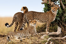 Cheetah mother and her two cubs by Maggy Meyer