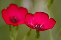 Blüten rot  von timberworld