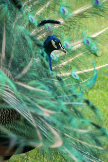 Peacock behind feather veils - Pfau hinter Federschleier