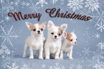 Chihuahua puppies christmas card by Waldek Dabrowski
