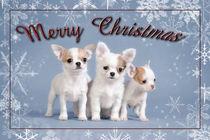 Chihuahua Christmas card von Waldek Dabrowski
