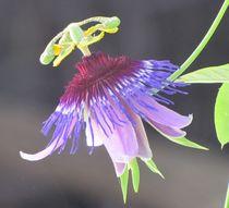 Passiflora amethystina 'Macae de Cimas' von bloomingpassion