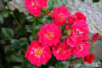 Pink Roses by sisterofdarkness