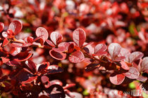 Barberry (Berberis Vulgaris) by sisterofdarkness