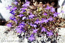 Purple Flowers Rock Garden by sisterofdarkness