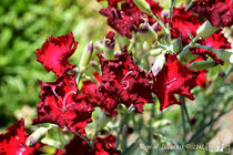 Red Dianthus by sisterofdarkness