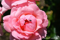 Pink Rose with Fly by sisterofdarkness