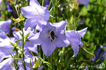 Harebells with Bee by sisterofdarkness