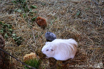 Guinea pig, Cavia porcellus by sisterofdarkness