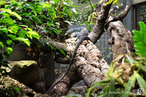Blue tree monitor, Varanus macraei by sisterofdarkness