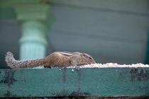 Streifenhörnchen beim Reismampfen by Gina Koch