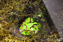 Horned frog, Ceratophrys cranwelli by sisterofdarkness