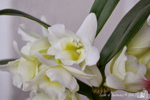 White Orchids by sisterofdarkness