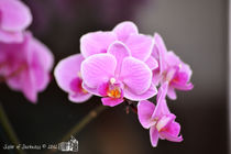 Pink Orchids by sisterofdarkness