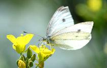 Schmetterling von Eckart  Mayer