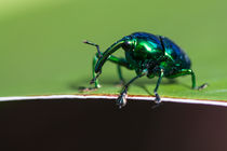shiny metallic bug by Craig Lapsley
