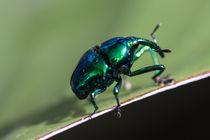 shiny weevil von Craig Lapsley