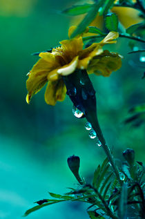 wet yellow flower by emanuele molinari