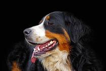 Berner Sennenhund by ir-md