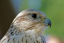 Falke (Falco cherrug)  von ir-md