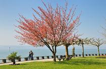 Hagnau am Bodensee - Baum an der Uferpromenade von Matthias Hauser