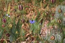 Blaue-jungfer-im-gruenen-0