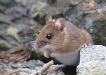 Maus von Eckart  Mayer