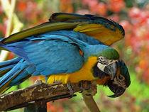 Gelbbrust-Ara, Papageien (parrots) von Dagmar Laimgruber