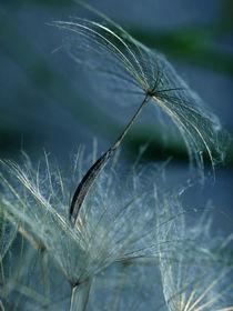 Mondlicht Serenade: Wiesenbocksbart, Pusteblume(Tragopogon), meadow, salsifi, dandelion von Dagmar Laimgruber
