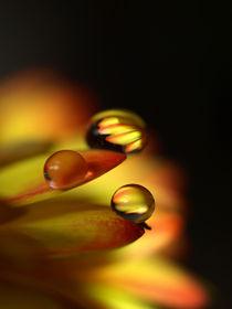 Golden Drops ,Wasser-Tropfen auf Gerbera-Blüte, blossom and water drops von Dagmar Laimgruber