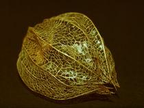 Goldene Physalis by Dagmar Laimgruber