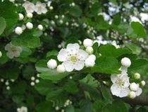 Heilpflanze Weißdorn von Heike Rau
