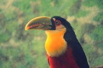 Tucano-De-Bico-Verde . Ramphastos Dicolorus by Paulo Zerbato