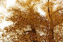 golden tree von E-lena BonapArte