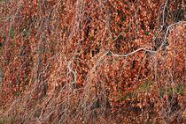 Hornbeam in autumn colors by Jutta Ehrlich