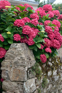 Hydrangeas over break stone wall - Hortensien über Bruchsteinmauer by Ralf Rosendahl