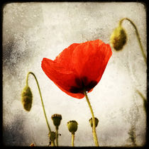 Papaver by Marc Loret