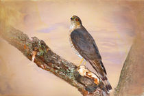 Sharp-shinned Hawk in Tree von Betty LaRue