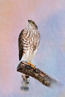 Sharp-shinned Hawk by Betty LaRue