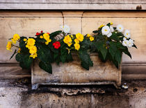 Red, yellow and white begonias in a stone tub. by Louise Heusinkveld
