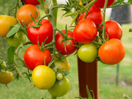 Greenhouse-tomatoes0356