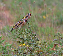 Three Goldfinches von Louise Heusinkveld