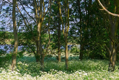 White-carpet-of-flowers0330