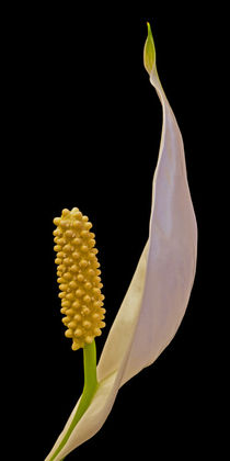 Peace Lily Flower II von David Pringle