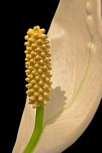 Peace Lily Flower by David Pringle